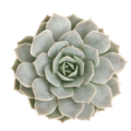 Leafandclay: Echeveria 'Fleur Blanc' Only For $ 5.00