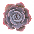 Leafandclay: Echeveria 'Dusty Rose' Only For $ 5.00